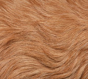 Dog fur. Closeup of Golden retrievers fur Royalty Free Stock Image