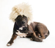 Dog in the fur cap Stock Images