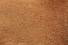 Dog fur Stock Photography