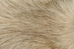 Dog fur closeup. Closeup of light brown or tan dog fur Royalty Free Stock Photos