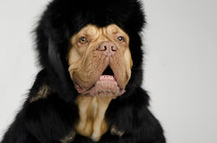 Dog with fur hat and coat ready for winter. Cold Stock Images