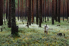 Dog in Fur-tree pine forest. In twilight. Summer. A bilberry royalty free stock image