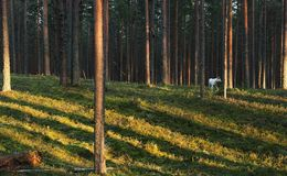 Dog in Fur-tree pine forest Royalty Free Stock Photography