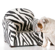 Dog on furniture. Concept of dog being allowed on furniture - english bulldog royalty free stock photography
