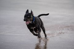 Dog galloping across a wet beach with front legs off the ground. A dog running across a wet sandy beach with front legs of the ground and water splashing from Royalty Free Stock Photo