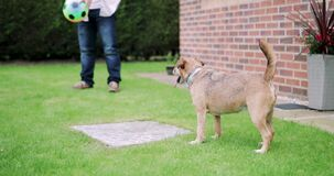 Dog in the Garden. Terrier dog is standing in a garden watching his owners stock footage