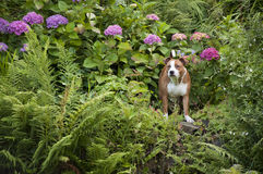 Dog in the garder Stock Photography