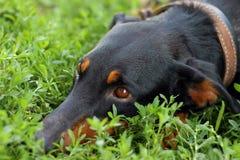 Dog gaze. Dog lied on the green grass Stock Photos