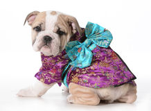Dog geisha Royalty Free Stock Photo