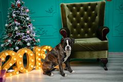 Dog, German boxer brown-and-white, with protruding tongue girl. sitting in front of the Christmas tree, burning figures 2019, gree royalty free stock photography