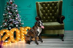 Dog, German boxer brown-and-white, with protruding tongue girl. sitting in front of the Christmas tree, burning figures 2019, gree royalty free stock image