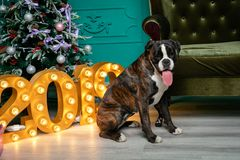 Dog, German boxer brown-and-white, with protruding tongue girl. sitting in front of the Christmas tree, burning figures 2019, gree royalty free stock images