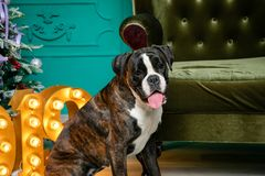 Dog, German boxer brown-and-white, with protruding tongue girl. sitting in front of the Christmas tree, burning figures 2019, gree royalty free stock photo