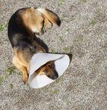 Dog german shepherd Stock Photography