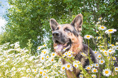 Dog German Shepherd And Grass Around In A Summer Stock Photo