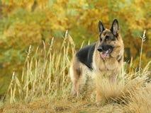 Dog, German shepherd in the autumn wood Stock Photo