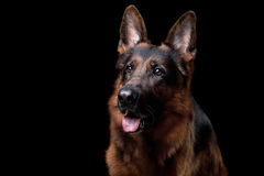 Dog German shepherd on a black background. In Studio royalty free stock photography