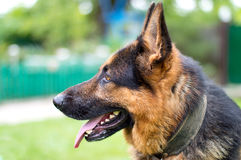 Dog - German Shepherd on a blurred background Royalty Free Stock Images