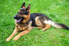 Dog - German Shepherd on a blurred background Royalty Free Stock Photography