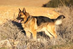 Dog of the German shepherd breed, standing in a field. royalty free stock photo