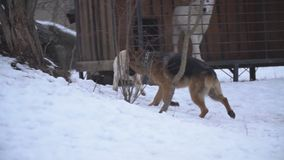 Dog German shepherd breed in winter stock video footage