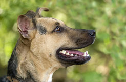 Dog German Shepherd. Is a closeup profile of a happy healthy German Shepherd dog in the green outdoors stock photos
