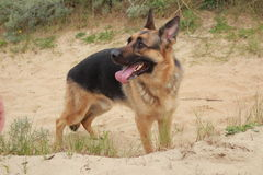 Dog german shepherd in the dunes Royalty Free Stock Image