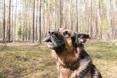 Dog german shepherd in the forest Stock Image