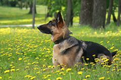 Dog, German shepherd on glade in dandelions Royalty Free Stock Photo