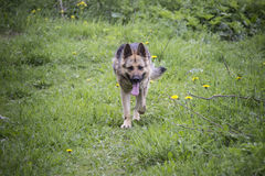 A dog. A German shepherd dog with its tongue out Royalty Free Stock Photos