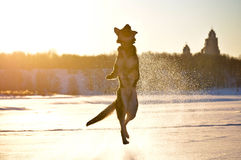 Dog german shepherd jumped Royalty Free Stock Images