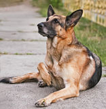 Dog, German shepherd lies Royalty Free Stock Photo