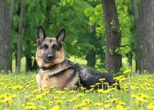 Dog,  German shepherd lies in dandelions Stock Images