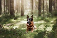 Dog German shepherd walks in the woods. Dog German shepherd lies on the moss under the trees royalty free stock images
