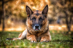 Dog German Shepherd Looking Into Camera Stock Image