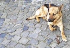 Dog german shepherd lying on the paving 2. German shepherd dog lying on the paving Stock Image