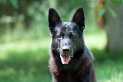 Dog, german shepherd on the nature Royalty Free Stock Photo