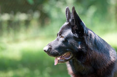 Dog, german shepherd on the nature Royalty Free Stock Images