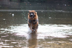 Dog, German Shepherd, running in water Stock Images