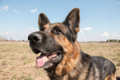 Dog german shepherd in a spring day Stock Images