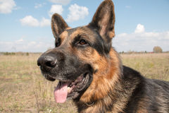 Dog german shepherd in a spring day Stock Photos
