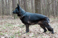 Dog, german shepherd standing in front in the forest Stock Photo