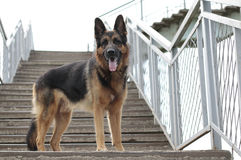 Dog german shepherd is on the steps. In a summer day Royalty Free Stock Photography
