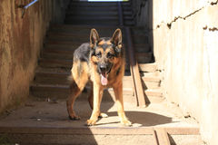 Dog german shepherd is on the steps Stock Photos