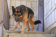 Dog german shepherd is on the steps Royalty Free Stock Photos