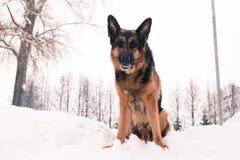 Dog german shepherd in a winter Royalty Free Stock Photos