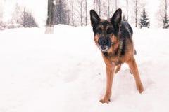 Dog german shepherd in a winter Stock Photography
