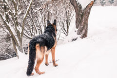 Dog german shepherd in a winter Royalty Free Stock Image