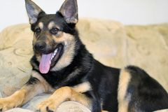 Dog. German Shepherds are non-aggressive and non-contentious advice to man and other animals, the negative character traits are completely absent, which makes Royalty Free Stock Photos