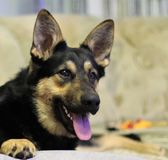 Dog. German Shepherds are non-aggressive and non-contentious advice to man and other animals, the negative character traits are completely absent, which makes Royalty Free Stock Photo